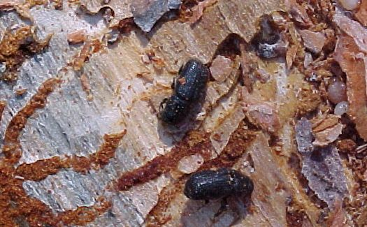 Bark Beetle.jpg