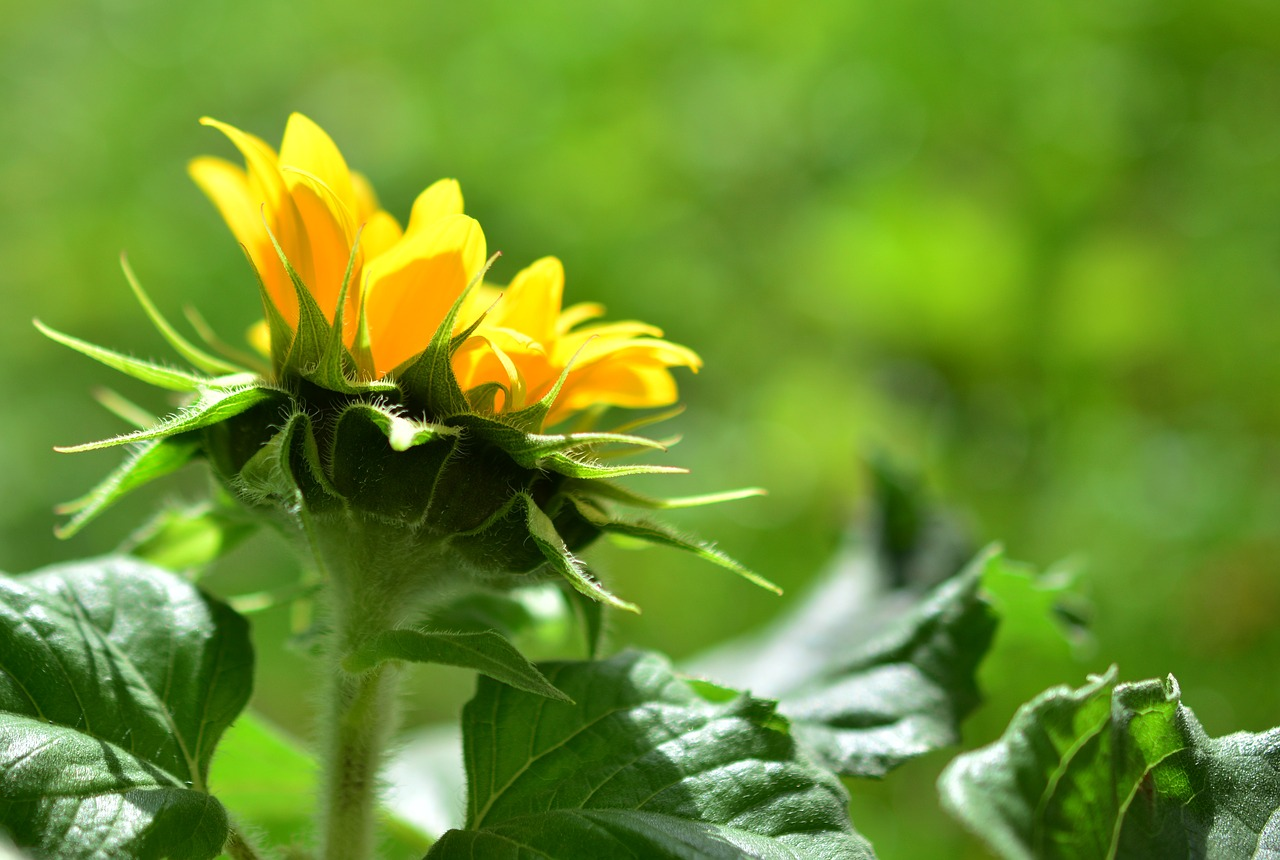 Sunflower side view in brilliant sunshine