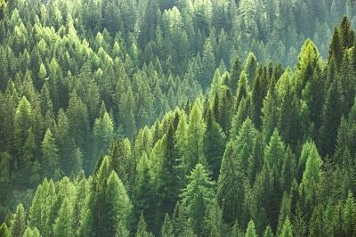 EvergreenTrees.jpg