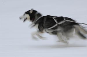 sled-dog.jpg