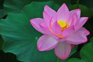 lotus-pink.jpg