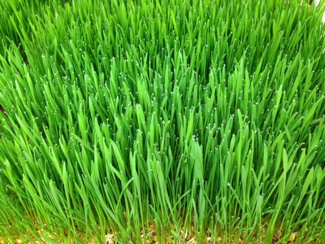 wheat grass sprouts by Nancy Addison