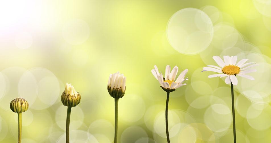 daisy flower transforming