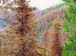 Forest After Bark Beetle 2.jpg